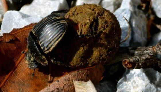 Dung beetles in Spain 01