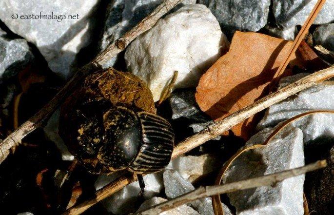 Dung beetles in Spain 02