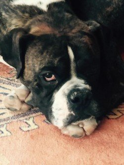 Boxer dog in need of help!