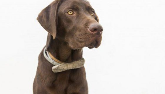 Chocolate Labrador saves man in Malaga