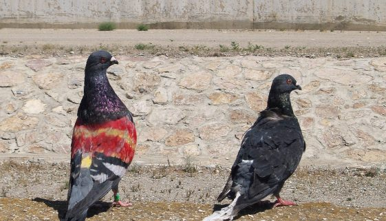 Pigeons on contraception in Barcelona