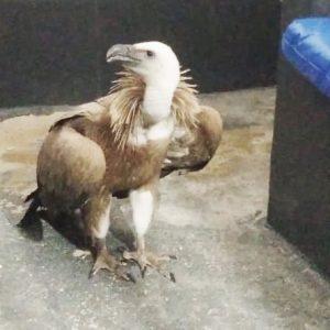 Griffon vulture rescued in Almeria
