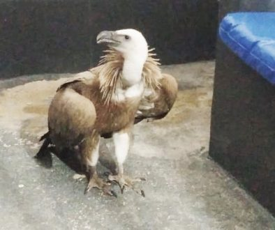 Griffon vulture rescued in Almeria